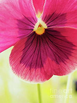 Pretty Purple Pansy by Dorothy Lee
