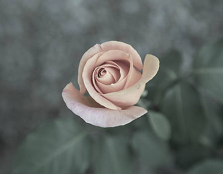 Pretty Roses by Raquel Amaral