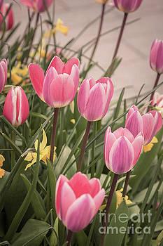 Sophie McAulay - Pretty spring tulips