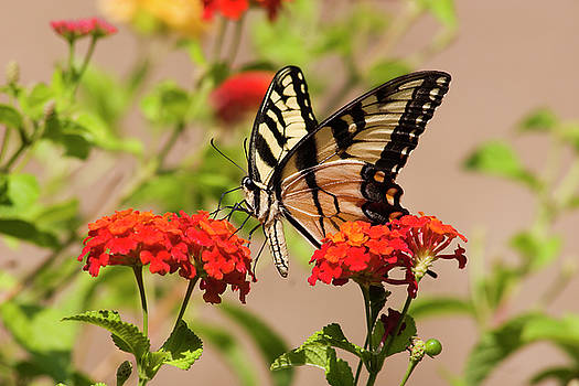 Jill Lang - Pretty Swallowtail Butterfly on Lantana Flowers