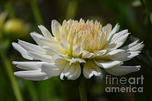 Pretty White Dahlia by Jeannie Rhode