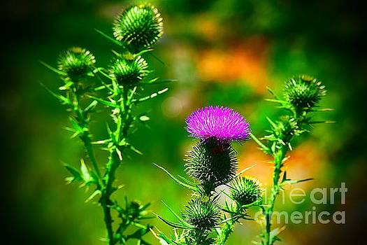 Prickles of a Bull Thistle by Becky Kurth