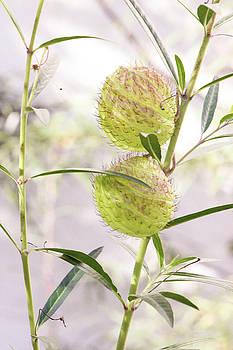 Prickly Balls by Deborah  Crew-Johnson