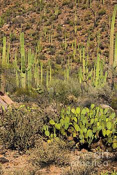 Bob Phillips - Prickly Pear and Saguaro Cacti