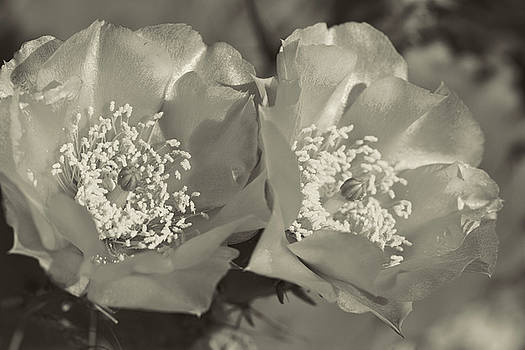 Prickly Pear Blooms in Sepia by Kathy Clark
