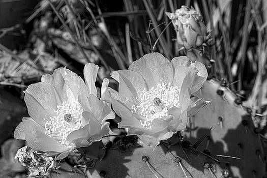 Prickly Pear Blossoms Black and White by Kathy Clark