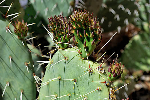 Prickly Pear Buds by Ron Cline