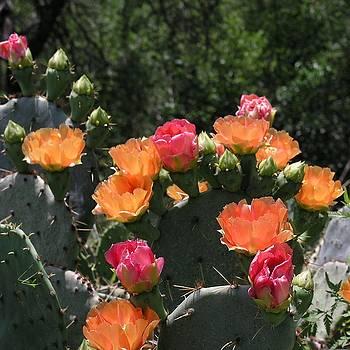 Karen Musick - Prickly Pear Cacti Flowers