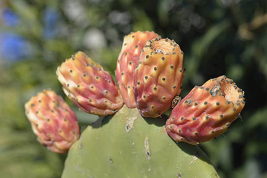 George Atsametakis - Prickly pear plant