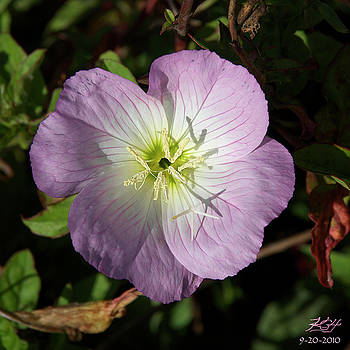Primrose by Kenneth Hadlock