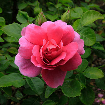 Princess Anne Rose by Bonnie Follett