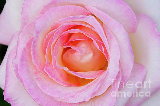 Princess de Monaco pink rose by Carl Chapman
