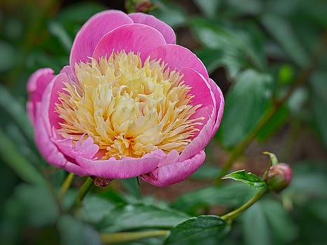 Prize Peony  by Judy Grant