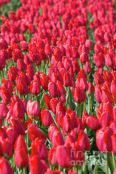 Production of tulips in Lisse Holland by Louise Heusinkveld