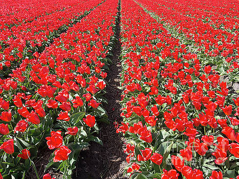 Production of tulips in Lisse Netherlands by Louise Heusinkveld