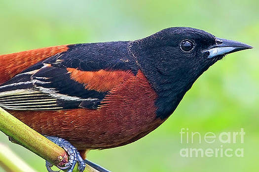 Profile in Orange and Black by Gary Holmes