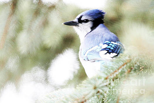 Profile of a Bluejay by Alyce Taylor