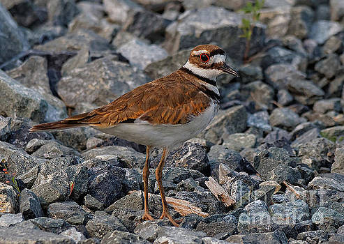 Profile of a Killdeer by Hui Sim