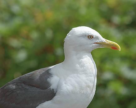 Jacek Wojnarowski - Profile of Adult Seagull