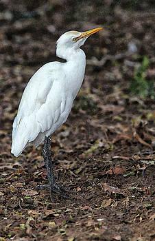Profile of an Egret by Sandeep Gangadharan