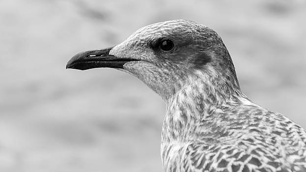Jacek Wojnarowski - Profile of Juvenile Seagull BW