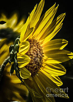 Profile of the Sunflower by Toma Caul