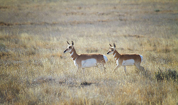 Pronghorn and Parent by Ruth Jolly