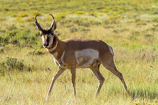 Pronghorn Antelope Buck by James Marvin Phelps