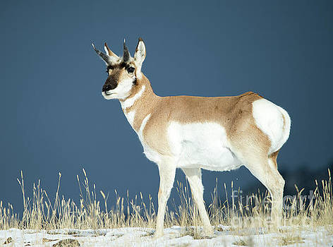 Pronghorn by Deby Dixon