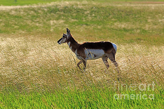 Pronghorn in Badlands National Park by Louise Heusinkveld