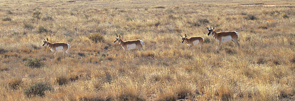 Pronghorns we are  by Ruth Jolly