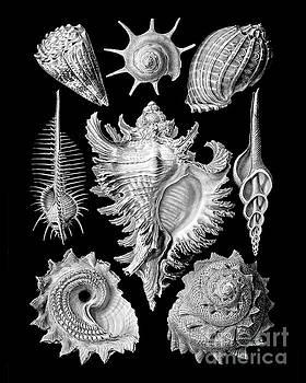 Tina Lavoie - Prosobranchia, vintage sea life mollusca and gastropods illustration