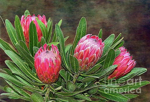 Proteas in Bloom by Kaye Menner by Kaye Menner