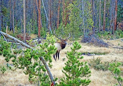 Robert Meyers-Lussier - Protective Elk