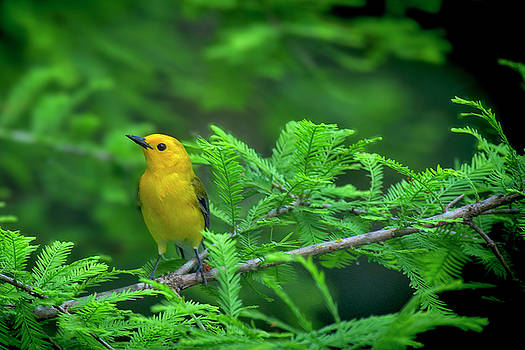 Prothonotary Wabler Among the Pines by TJ Baccari