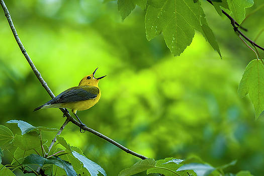 Prothonotary Wabler Singing by TJ Baccari