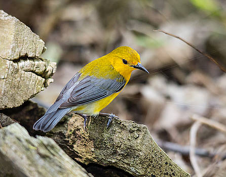Prothonotary Warbler by Kimberly Kotzian