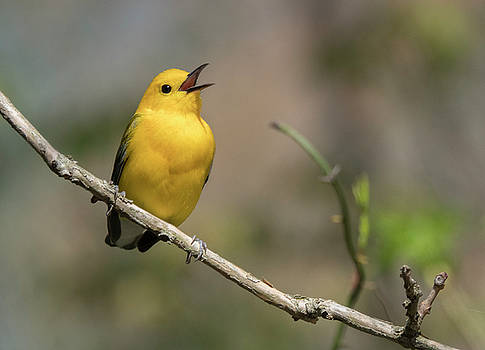 Prothonotary Warbler singing by Jack Nevitt