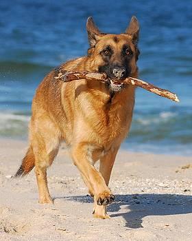 Proud and Happy - German Shepherd Dog by Angie Tirado