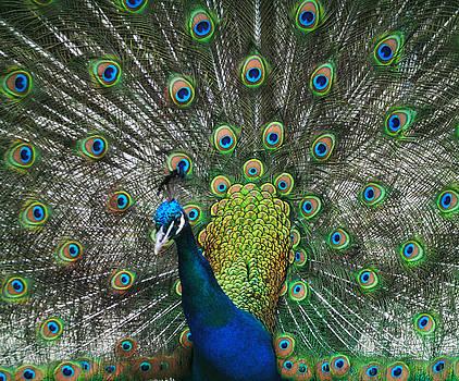 Proud as a Peacock by Amanda Lomonaco