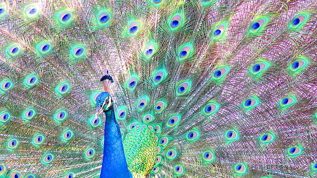 Proud as a Peacock by Beverly Reaume