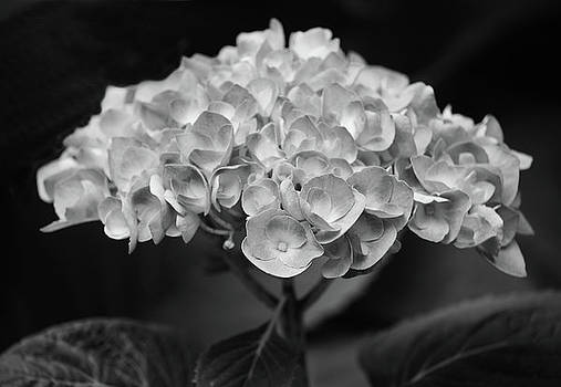 Proud Blue Hydrangea Black And White by Sandi OReilly