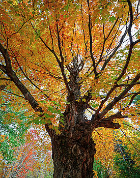 Proud Maine Tree in the Fall by Richard Hinds