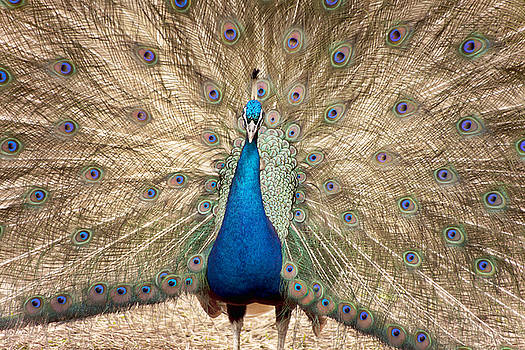 Proud Peacock by Laura Greene