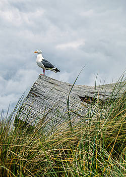 Proud seagull by Dick Wood