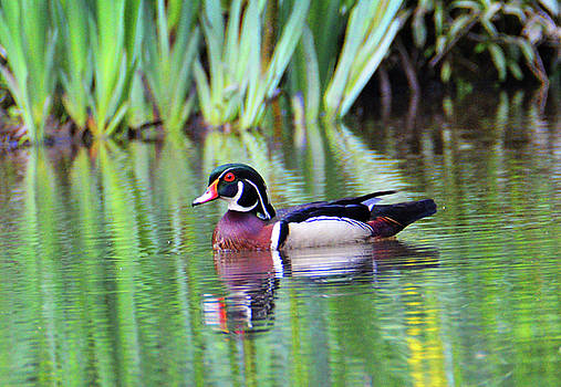 Proud Wood Duck by Kathy Kelly