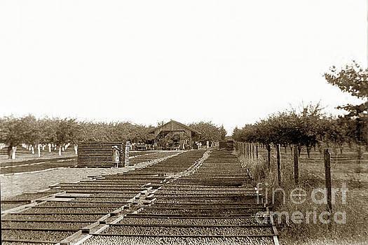 California Views Mr Pat Hathaway Archives - Prune drying yard, near Gilroy  in, Santa Clara County, California ,1898,