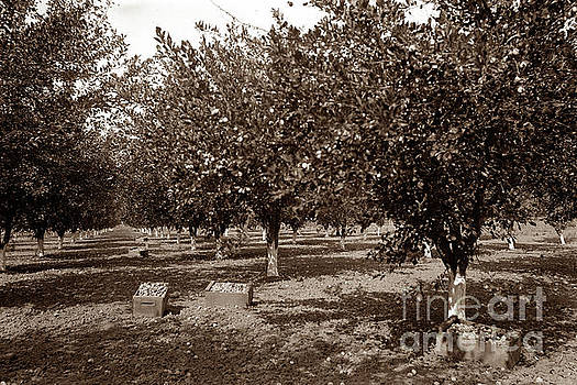 California Views Mr Pat Hathaway Archives - Prune Harvesting in Gilroy California 1898