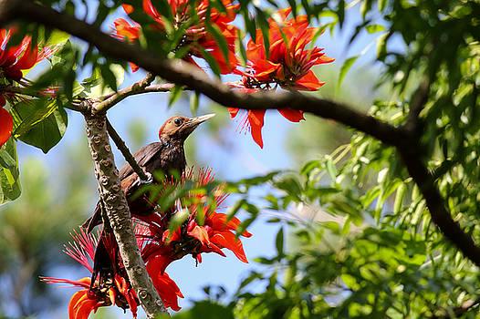 Pryers woodpecker Dendrocopos noguchii by Shawn  Miller