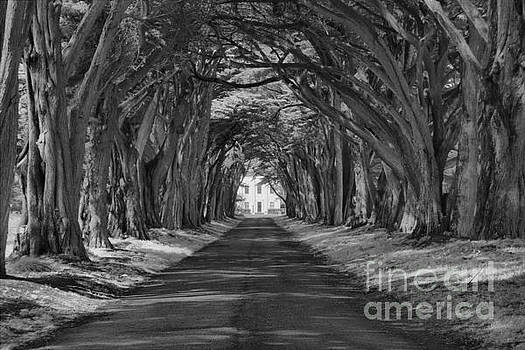 Adam Jewell - Pt Reyes Cypress Tunnel Black And White
